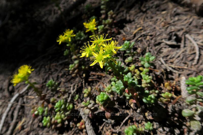 spreading stonecrop (Sedum divergens) [Timberline Trail, Mt. Hood Wilderness, Oregon]