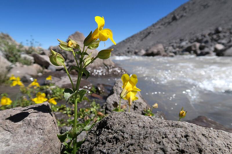 yellow monkeyflower (Erythranthe guttata (Mimulus guttatus)) [Eliot Glacier outwash plain, Mt. Hood Wilderness, Oregon]