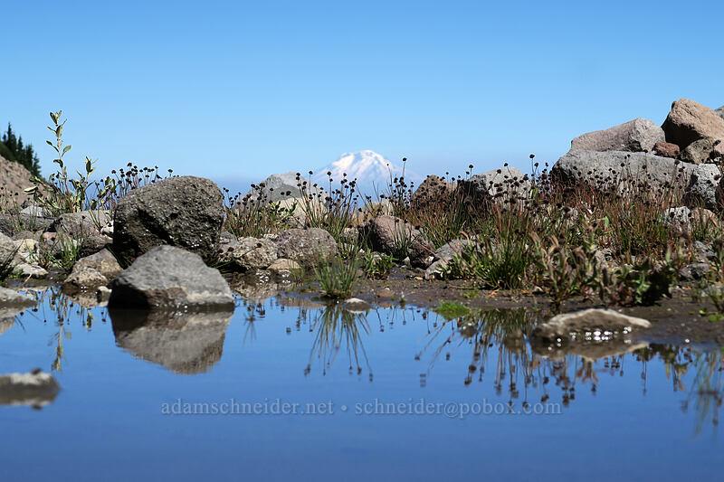 sedges & meltwater (Carex sp.) [Eliot Glacier outwash plain, Mt. Hood Wilderness, Oregon]
