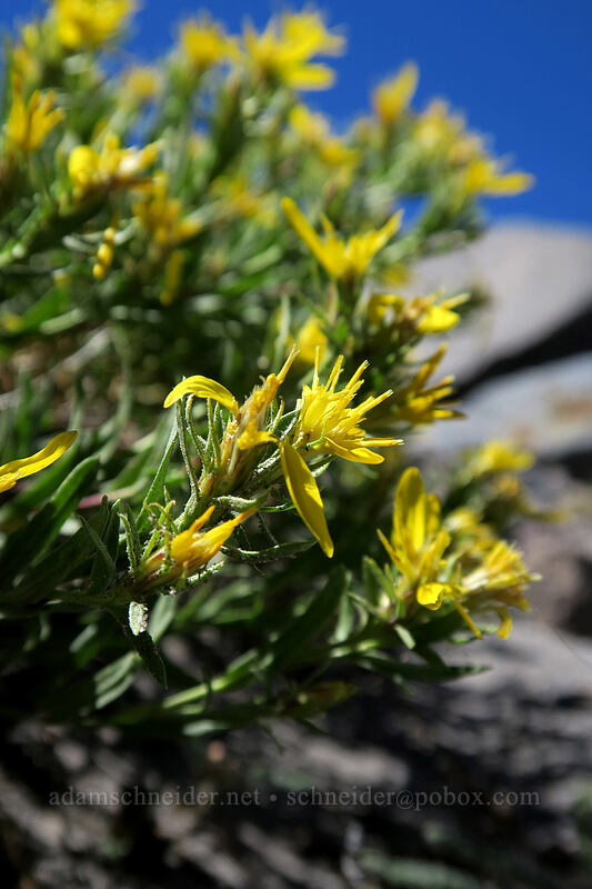 Greene's goldenweed (Ericameria greenei (Haplopappus greenei)) [Eliot Glacier east moraine, Mt. Hood Wilderness, Oregon]