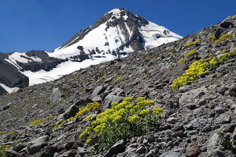 buckwheat & Mount Hood (Eriogonum sp.) [Eliot Glacier east moraine, Mt. Hood Wilderness, Oregon]