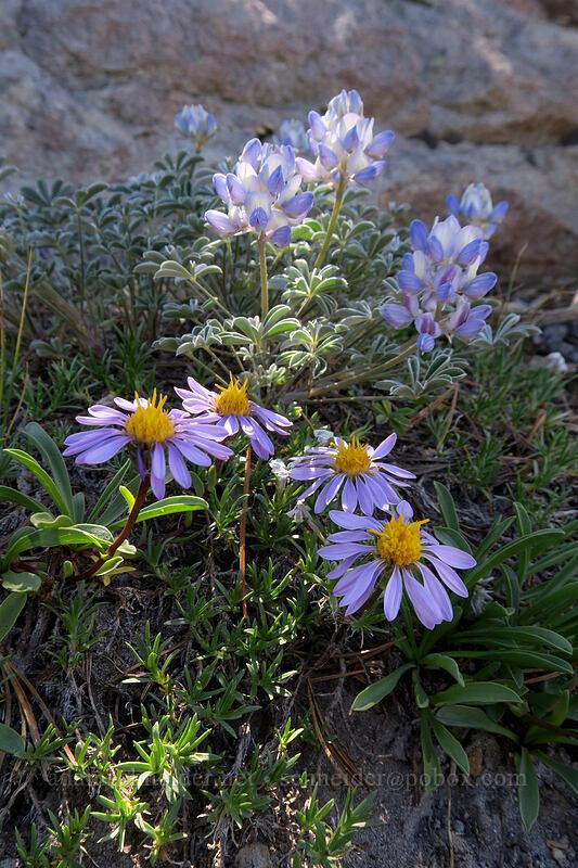tundra asters & dwarf lupines (Oreostemma alpigenum (Aster alpigenus), Lupinus lepidus var. lobbii) [Cooper Spur, Mt. Hood Wilderness, Oregon]