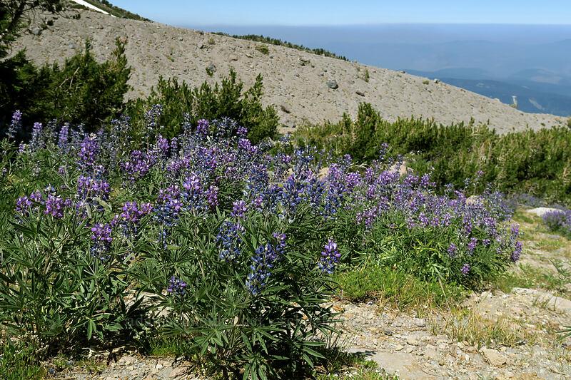 lupines (Lupinus latifolius) [Cooper Spur, Mt. Hood Wilderness, Oregon]
