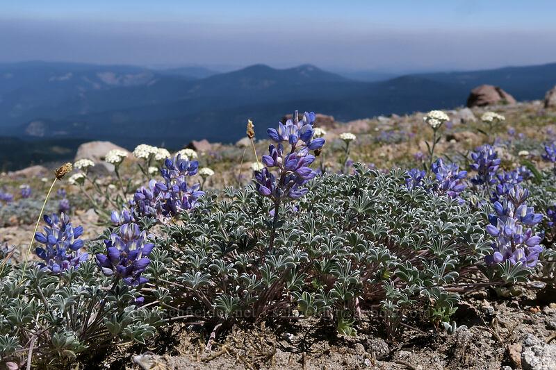 dwarf lupine & dwarf yarrow (Lupinus lepidus var. lobbii, Achillea millefolium) [Cooper Spur, Mt. Hood Wilderness, Oregon]