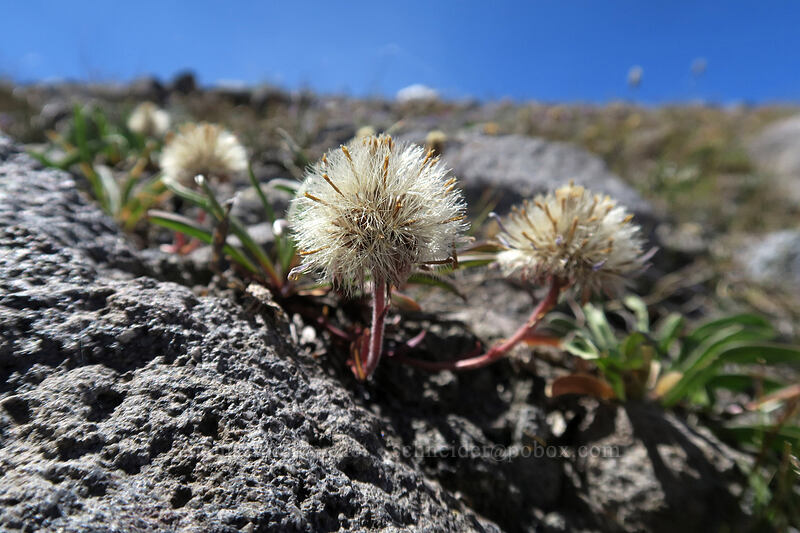 alpine asters, gone to seed (Oreostemma alpigenum (Aster alpigenus)) [Timberline Trail, Mt. Hood Wilderness, Oregon]