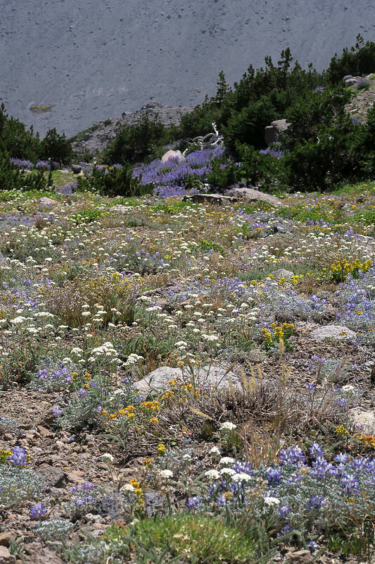 alpine wildflowers [Timberline Trail, Mt. Hood Wilderness, Oregon]