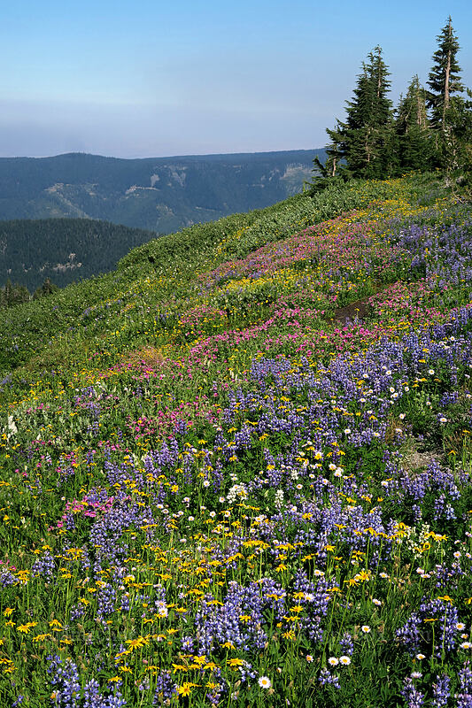 wildflowers [Timberline Trail, Mt. Hood Wilderness, Oregon]