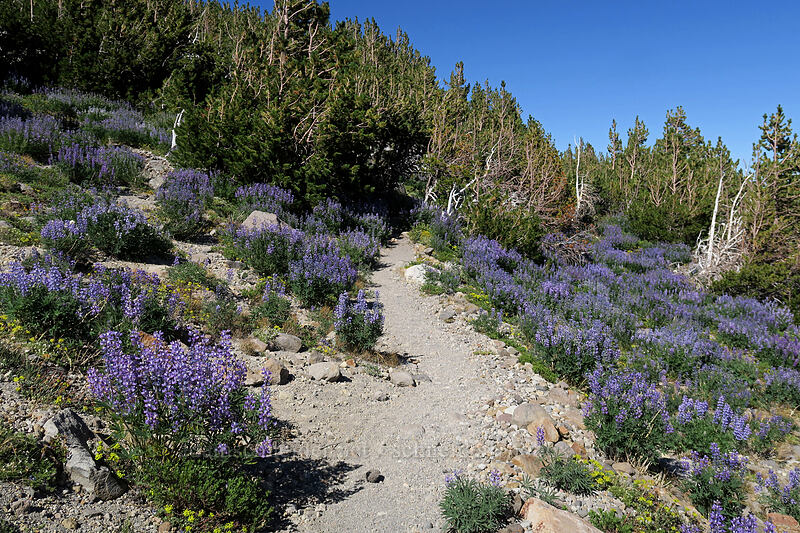 lupines (Lupinus latifolius) [Timberline Trail, Mt. Hood Wilderness, Oregon]