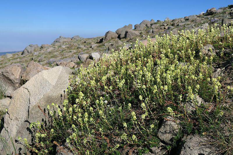partridgefoot (Luetkea pectinata) [Timberline Trail, Mt. Hood Wilderness, Oregon]