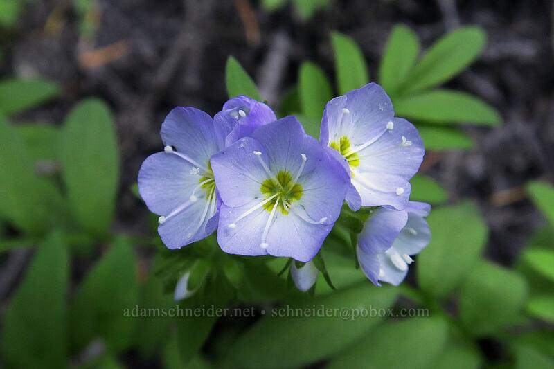 showy Jacob's-ladder (Polemonium californicum) [Timberline Trail, Mt. Hood National Forest, Oregon]