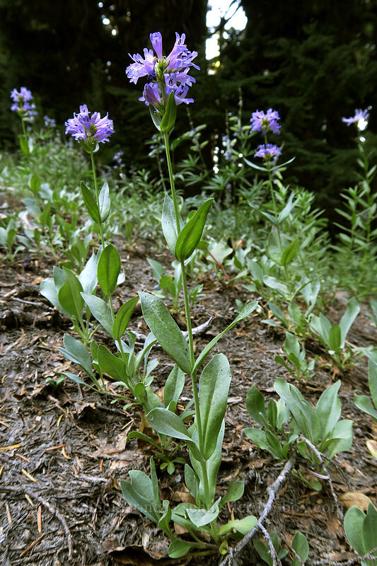 glaucous penstemon (Penstemon euglaucus) [Timberline Trail, Mt. Hood National Forest, Oregon]