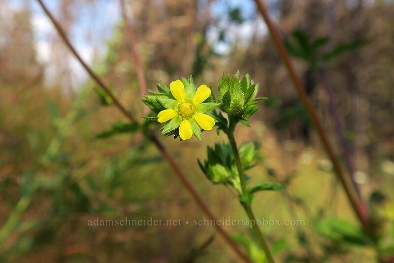 sticky cinquefoil (Drymocallis glandulosa (Potentilla glandulosa)) [Cottonwood Creek, Golden Trout Wilderness, California]