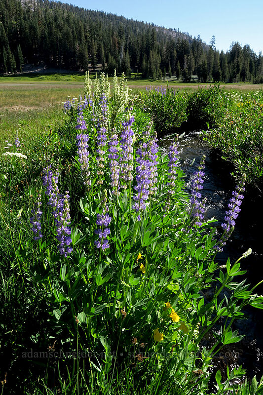 lupines & corn lilies (Lupinus sp., Veratrum californicum) [Kings Creek Upper Meadow, Lassen Volcanic National Park, California]