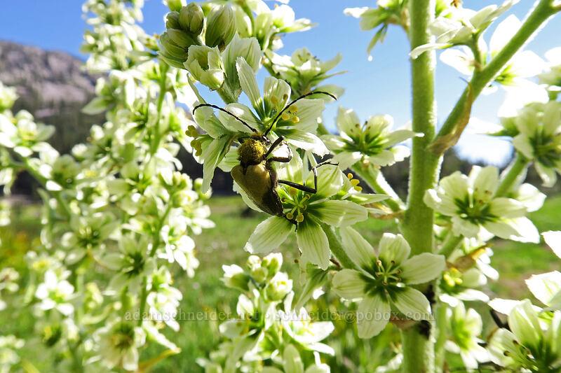 flower longhorn beetle on corn lily (Pachyta armata, Veratrum californicum) [Kings Creek Upper Meadow, Lassen Volcanic National Park, California]
