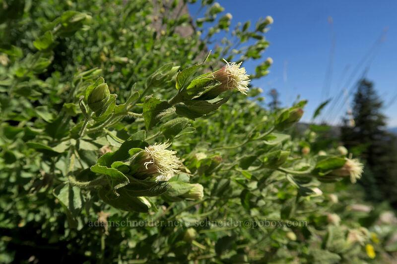 Greene's brickellbush (Brickellia greenei) [Bumpass Hell Trail, Lassen Volcanic National Park, California]