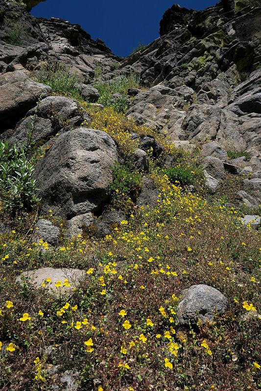 yellow monkeyflower (Erythranthe sp. (Mimulus sp.)) [Bumpass Hell Trail, Lassen Volcanic National Park, California]