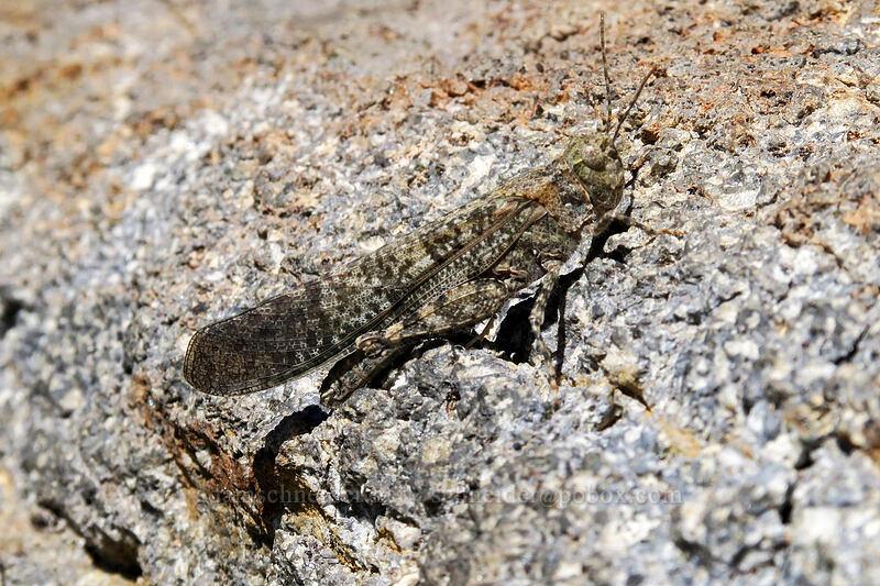 grasshopper (Circotettix sp.) [Bumpass Hell Trail, Lassen Volcanic National Park, California]