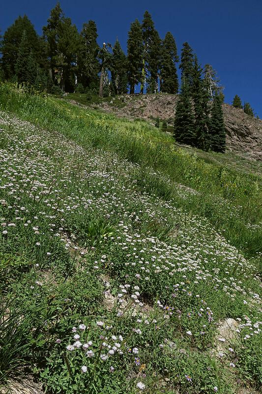 coyote mint & corn lilies (Monardella odoratissima, Veratrum californicum) [Bumpass Hell Trail, Lassen Volcanic National Park, California]