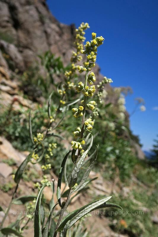 California mugwort (Artemisia douglasiana) [Bumpass Hell Trail, Lassen Volcanic National Park, California]