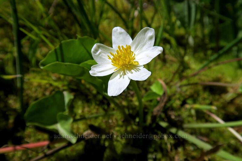white marsh-marigold (Caltha leptosepala) [Bumpass Hell Trail, Lassen Volcanic National Park, California]