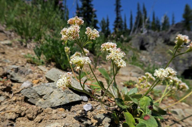 alpine buckwheat (Eriogonum pyrolifolium var. coryphaeum) [below Chinook Peak, Wenatchee National Forest, Washington]