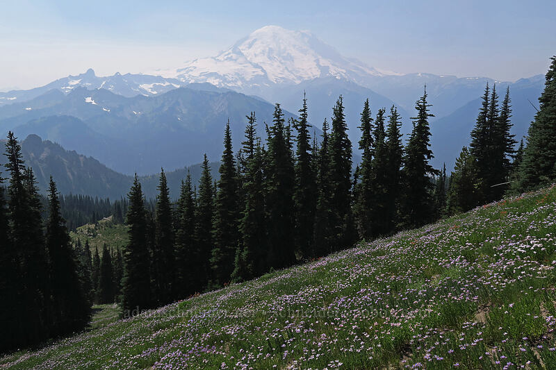 Mt. Rainier & asters (Eucephalus ledophyllus) [Chinook Peak, Mount Rainier National Park, Washington]