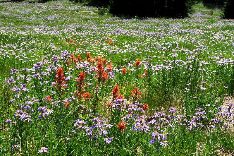 paintrbush & asters (Castilleja miniata, Eucephalus ledophyllus (Aster ledophyllus)) [Chinook Peak, Mount Rainier National Park, Washington]