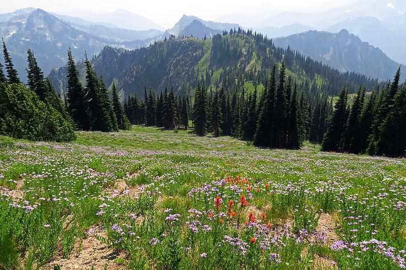 paintbrush & asters (Castilleja miniata, Eucephalus ledophyllus (Aster ledophyllus)) [Chinook Peak, Mount Rainier National Park, Washington]