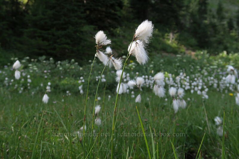 cotton-grass (Eriophorum angustifolium) [Sheep Lake, Wenatchee National Forest, Washington]