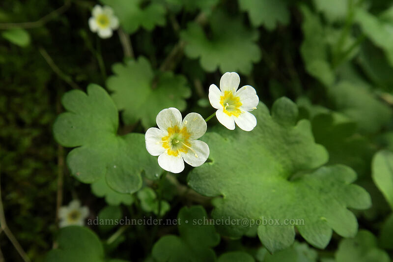 Sitka mist-maidens (Romanzoffia sitchensis) [Naches Loop Trail, William O. Douglas Wilderness, Washington]
