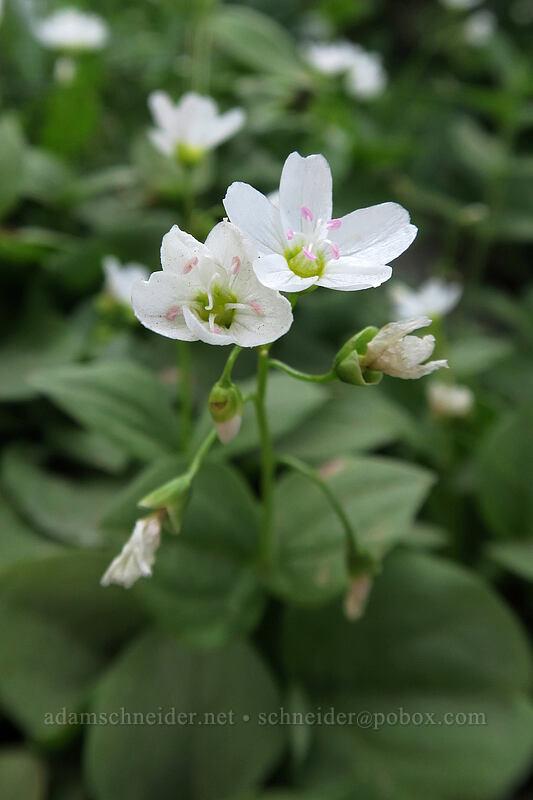 broad-leaf spring beauty (Claytonia cordifolia) [Naches Loop Trail, William O. Douglas Wilderness, Washington]