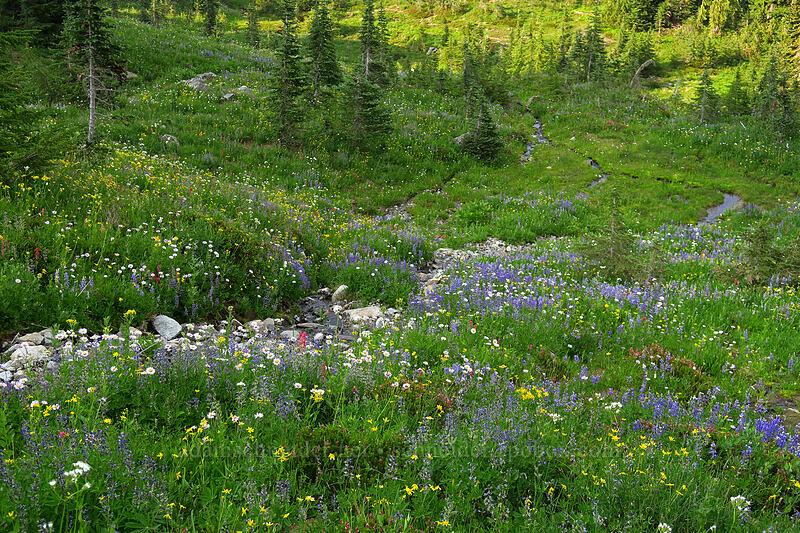 wildflowers [Naches Loop Trail, William O. Douglas Wilderness, Washington]