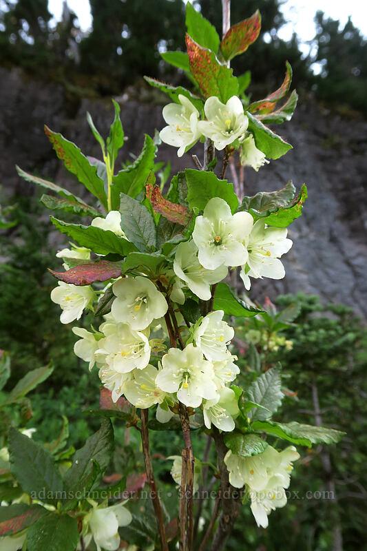 white rhododendron (Rhododendron albiflorum) [Naches Loop Trail, William O. Douglas Wilderness, Washington]