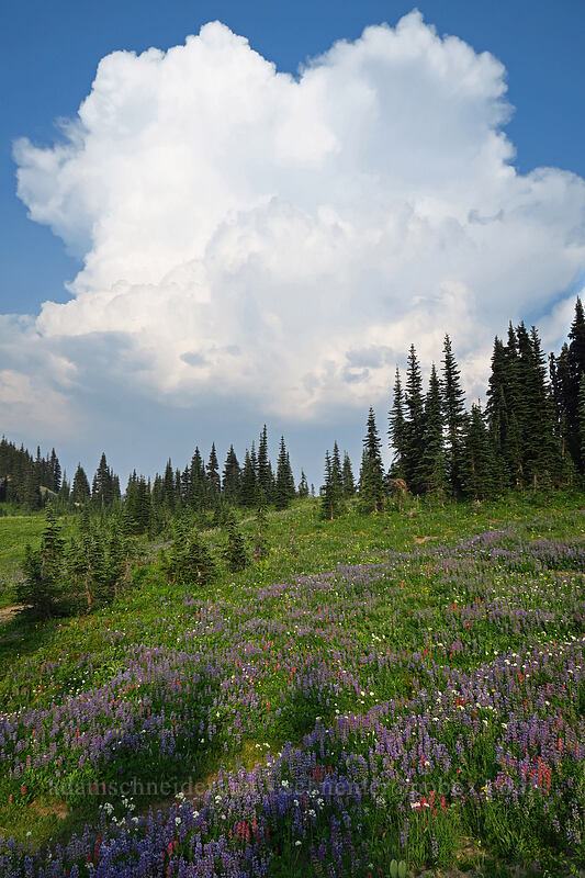 wildflowers & thunderstorms [Naches Loop Trail, Mount Rainier National Park, Washington]
