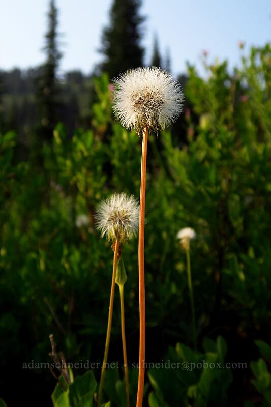 alpine lake agoseris seeds (Nothocalais alpestris) [Naches Loop Trail, Mount Rainier National Park, Washington]