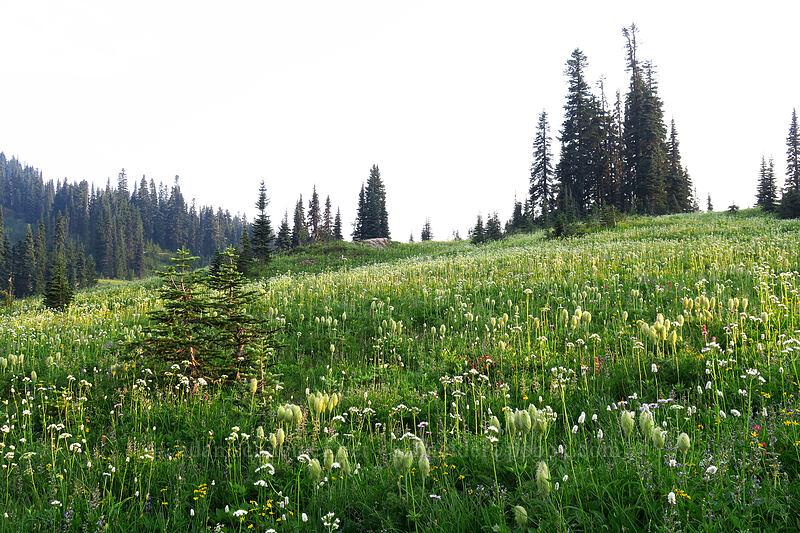 wildflowers [Naches Loop Trail, Mount Rainier National Park, Washington]