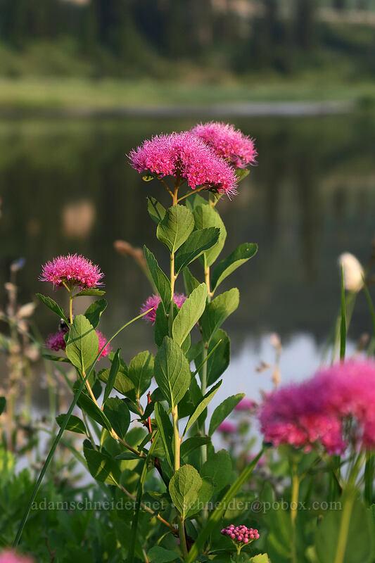 subalpine spirea (Spiraea densiflora (Spiraea splendens)) [Naches Loop Trail, Mount Rainier National Park, Washington]