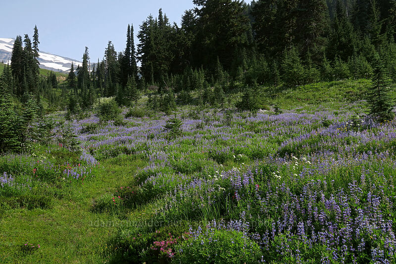 wildflowers [Deadhorse Creek Trail, Mount Rainier National Park, Washington]