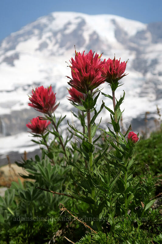 magenta paintbrush (Castilleja parviflora var. oreopola) [Glacier Vista Trail, Mount Rainier National Park, Washington]