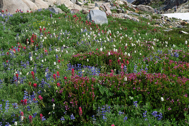 wildflowers [Skyline Trail, Mount Rainier National Park, Washington]