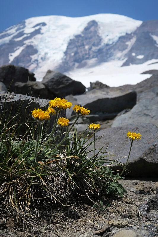 golden fleabane (Erigeron aureus) [above Paradise, Mount Rainier National Park, Washington]