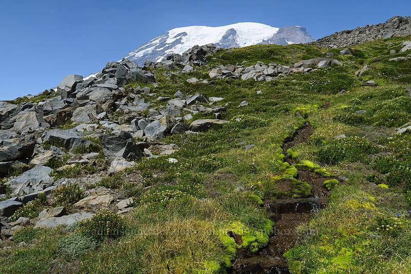 alpine meadow [above Paradise, Mount Rainier National Park, Washington]