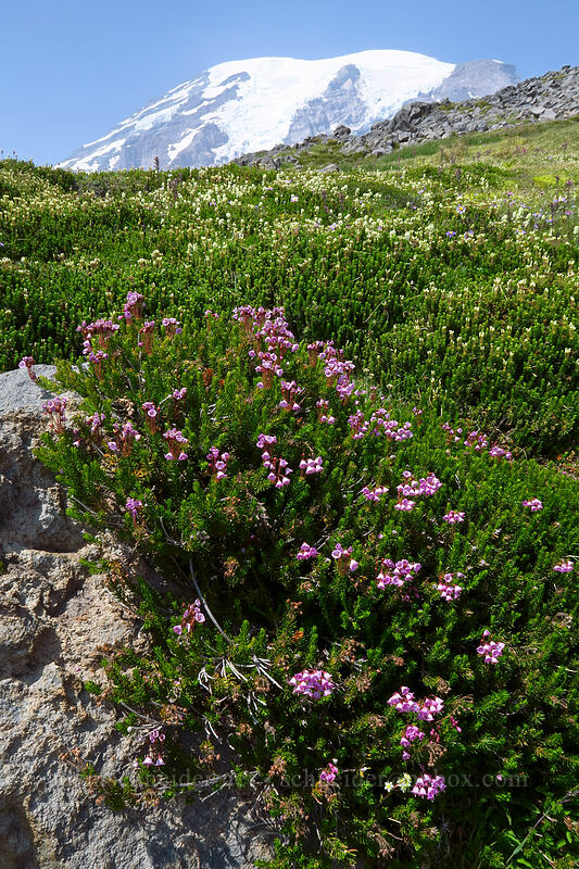 pink mountain heather & partridgefoot (Phyllodoce empetriformis, Luetkea pectinata) [above Paradise, Mount Rainier National Park, Washington]