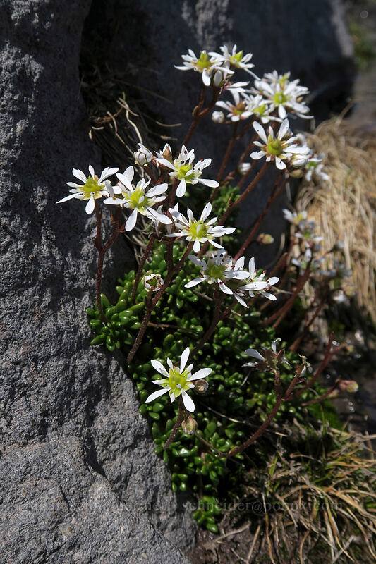 Tolmie's saxifrage (Micranthes tolmiei (Saxifraga tolmiei)) [above Paradise, Mount Rainier National Park, Washington]