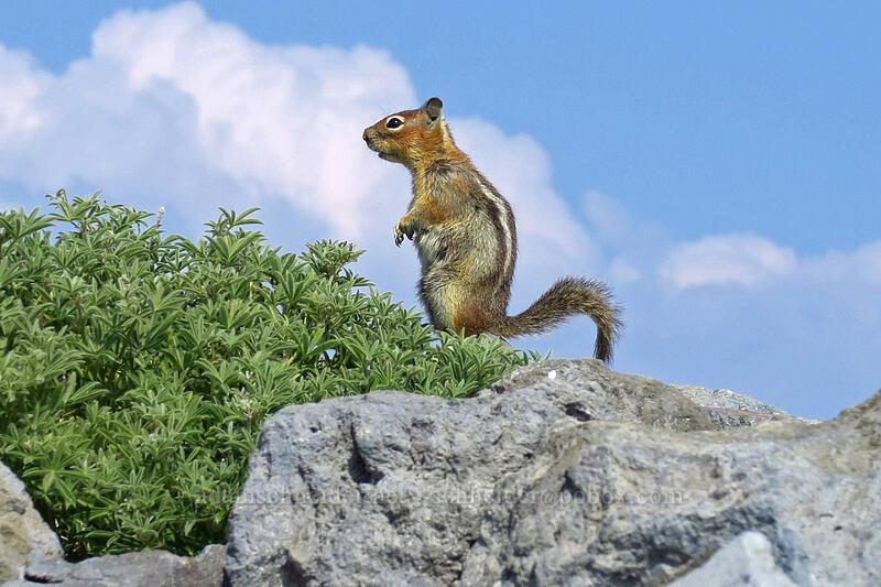 Cascade golden-mantled ground squirrel (Callospermophilus saturatus (Spermophilus saturatus)) [Skyline Trail, Mount Rainier National Park, Washington]