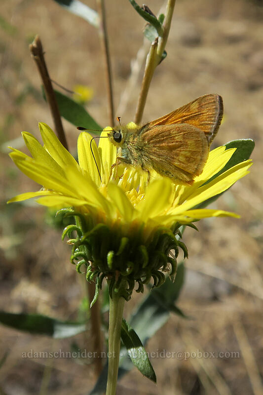 woodland skipper butterfly on gumweed (Ochlodes sylvanoides, Grindelia nana) [Long Creek Mountain, Malheur National Forest, Oregon]