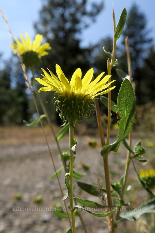 gumweed (Grindelia nana) [Long Creek Mountain, Malheur National Forest, Oregon]