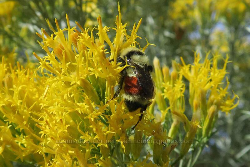 Hunt's bumblebee on rabbitbrush (Bombushuntii, Ericameria nauseosa (Chrysothamnus nauseosus)) [Long Creek Mountain, Malheur National Forest, Oregon]