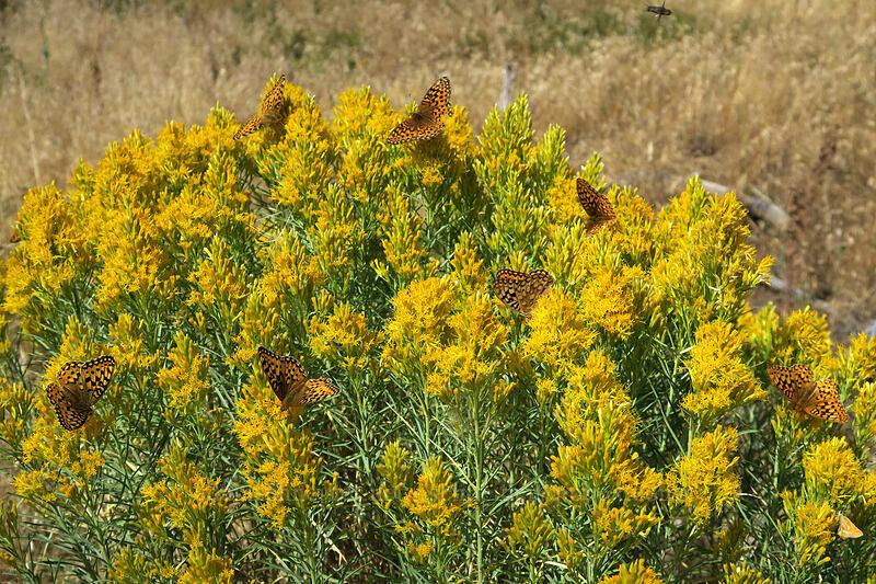fritillary butterflies on rabbitbrush (Speyeria sp., Ericameria nauseosa) [Long Creek Mountain, Malheur National Forest, Oregon]