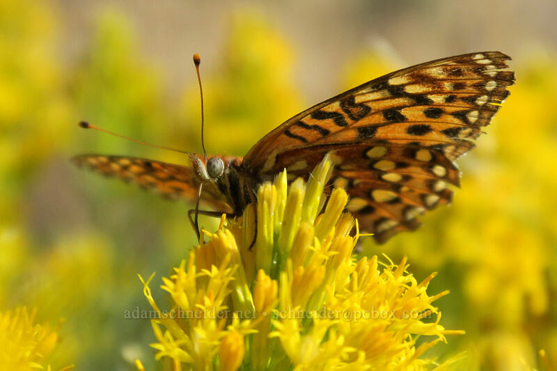 fritillary butterfly on rabbitbrush (Speyeria sp., Ericameria nauseosa (Chrysothamnus nauseosus)) [Long Creek Mountain, Malheur National Forest, Oregon]